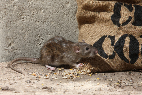 Collin County Rat Control