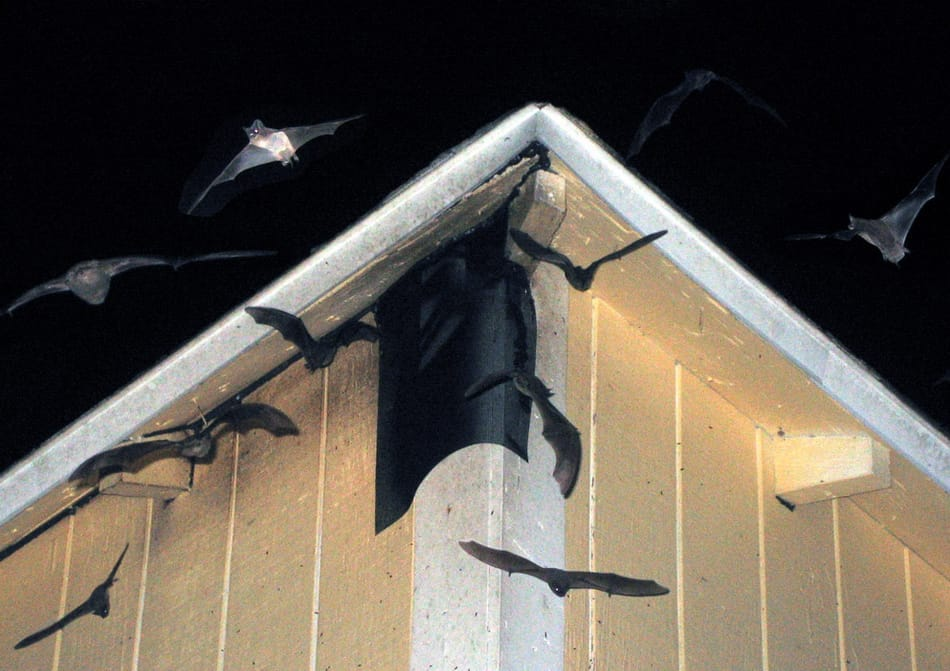 Austin Bat Removal